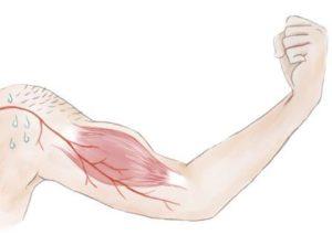腕(血管、汗腺、筋肉等)
