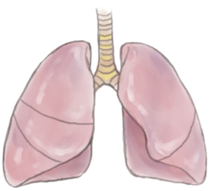 気管支、肺